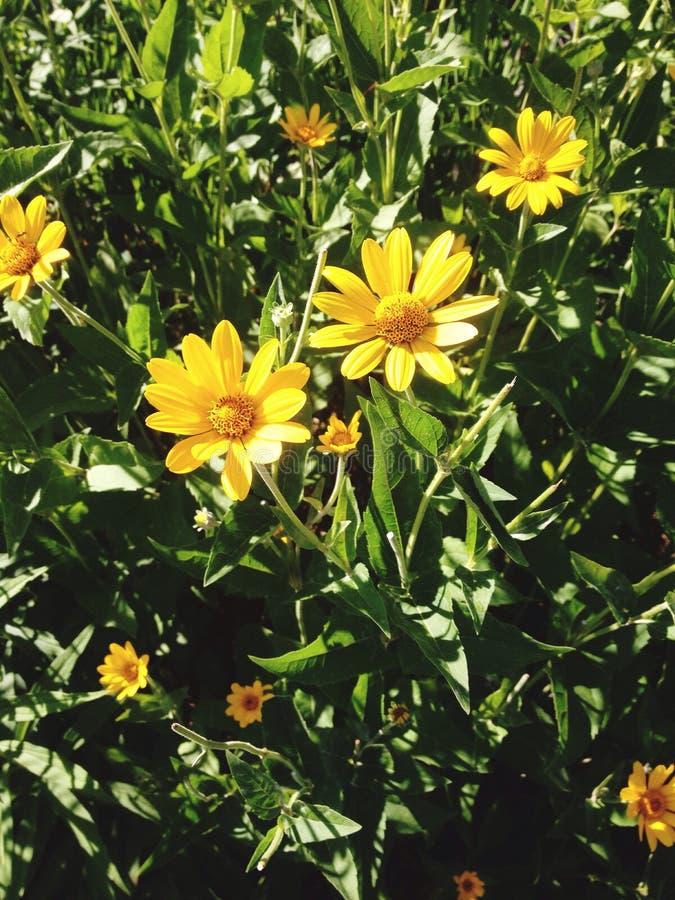 piękna daisy zdjęcie royalty free