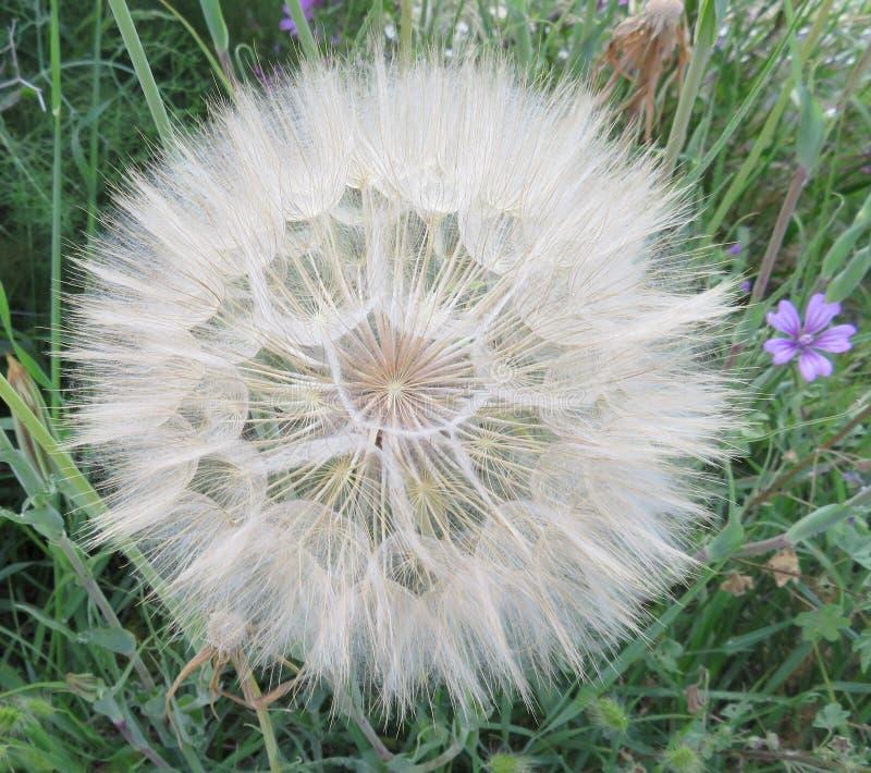 Piękna dandelion ampuła wielkościowa czekać na powietrze podróżować zdjęcia royalty free