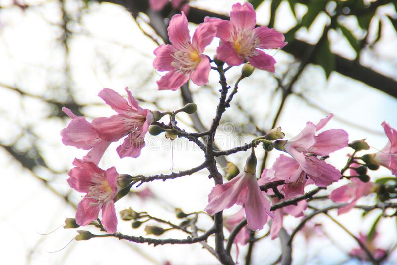 Piękna delikatna różowa ampuła kwitnie Chorisia lub Ceiba speciosa dorośnięcie na drzewie czyj barkentyna zakrywa obraz royalty free