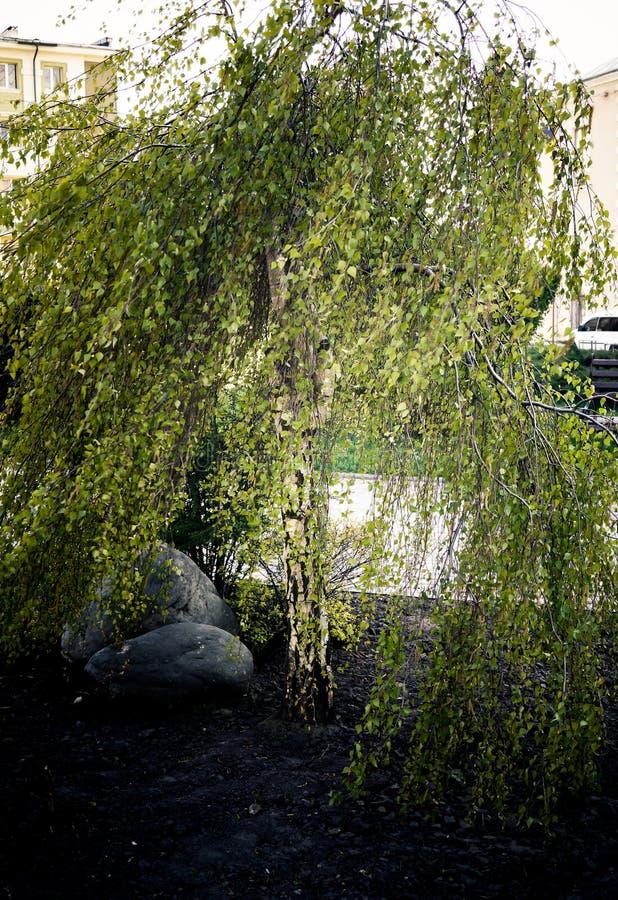 Piękna drzewo karła brzoza fotografia royalty free