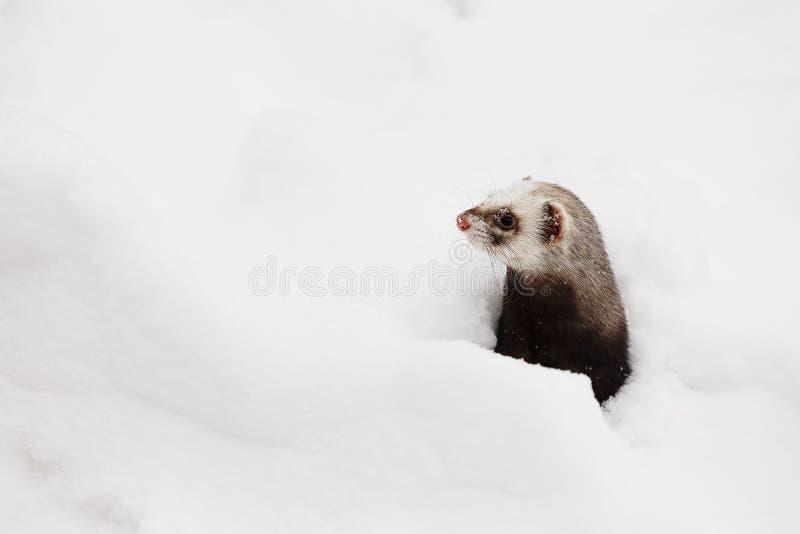 Piękna dzika fretki gra w śniegu fotografia royalty free