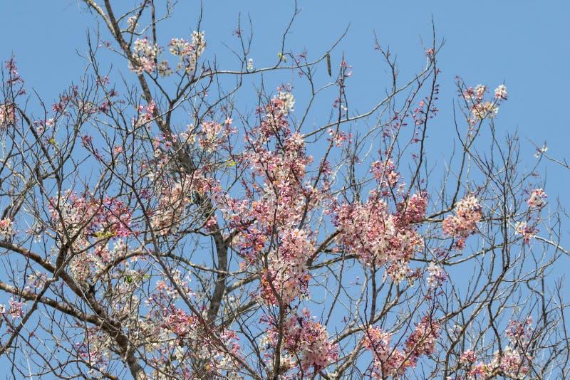 Piękna Dzika Himalajska wiśnia, deciduous kwaśni czereśniowego drzewa blos fotografia royalty free