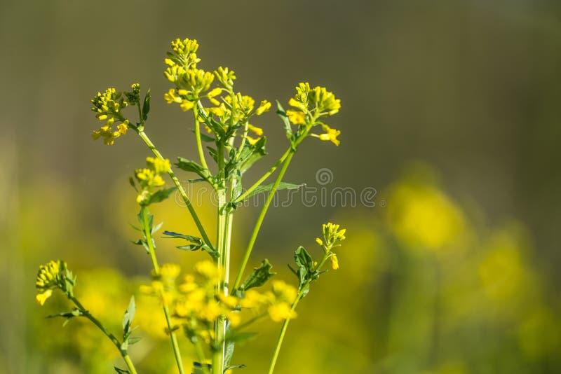 Piękna dzika rzepa kwitnie kwitnąć w polu fotografia stock