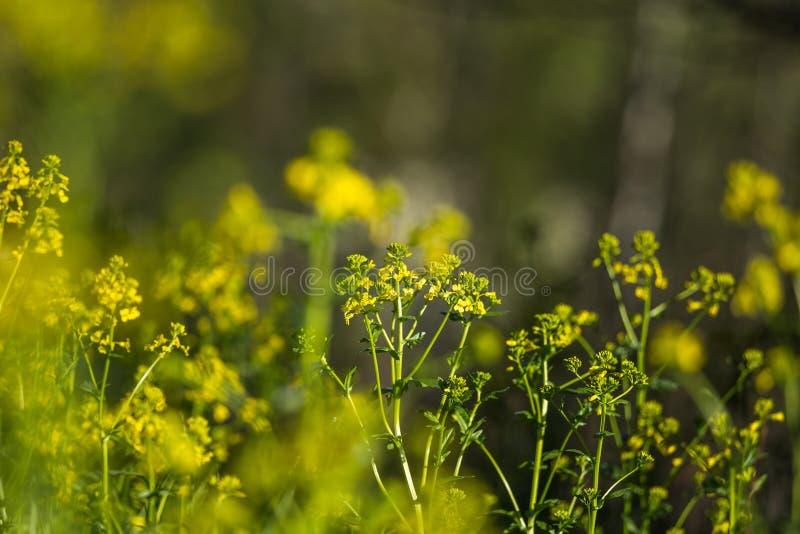 Piękna dzika rzepa kwitnie kwitnąć w polu fotografia royalty free