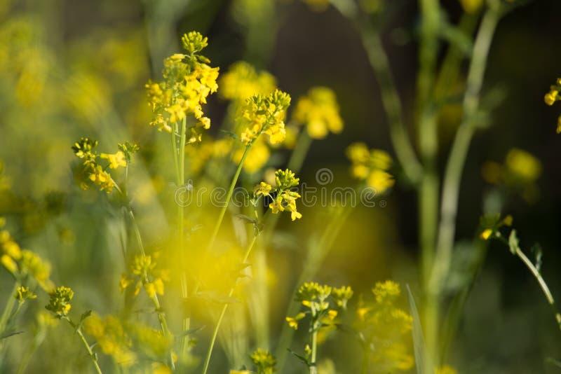 Piękna dzika rzepa kwitnie kwitnąć w polu zdjęcia stock