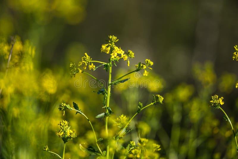 Piękna dzika rzepa kwitnie kwitnąć w polu zdjęcia royalty free