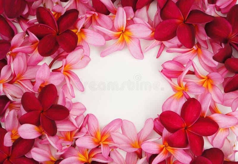 Piękna Frangipani kwiatu rama na białym tle obrazy royalty free