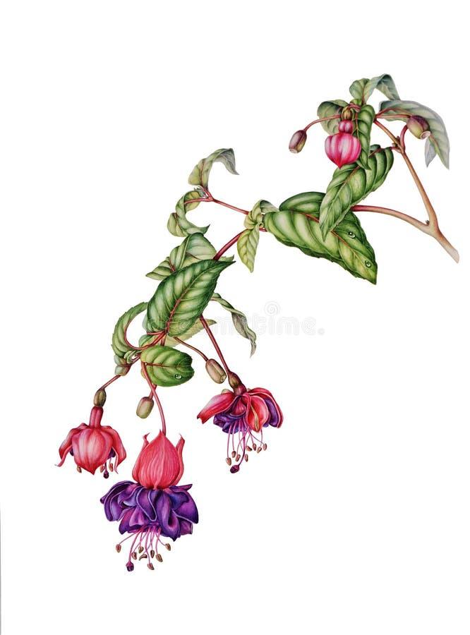 Piękna fuksi gałąź z kwiatami, pączkami i jagodami, ilustracja wektor