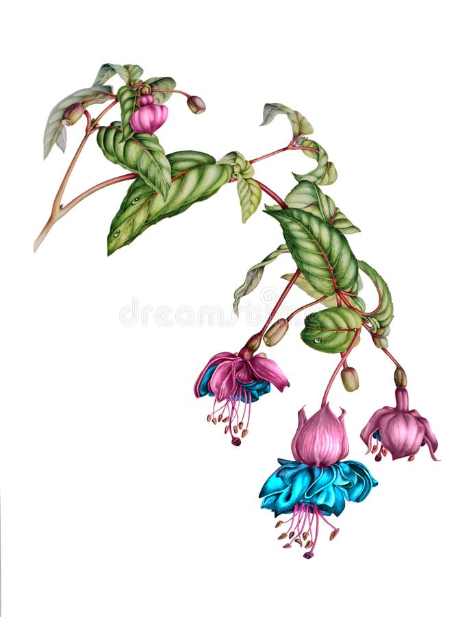 Piękna fuksi gałąź z kwiatami, pączkami i jagodami, royalty ilustracja