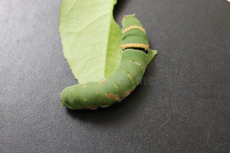 PiÄ™kna gÄ…sienica pospolitego motyla fotografia stock