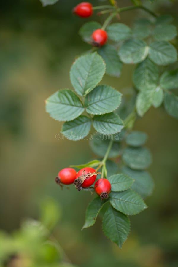 Piękna gałąź aromatycznej dzikiej rośliny pastewnej z jasnoczerwonym dojrzałym jagód drzewo ziołowe na zewnątrz na tle rozmazaneg zdjęcia royalty free