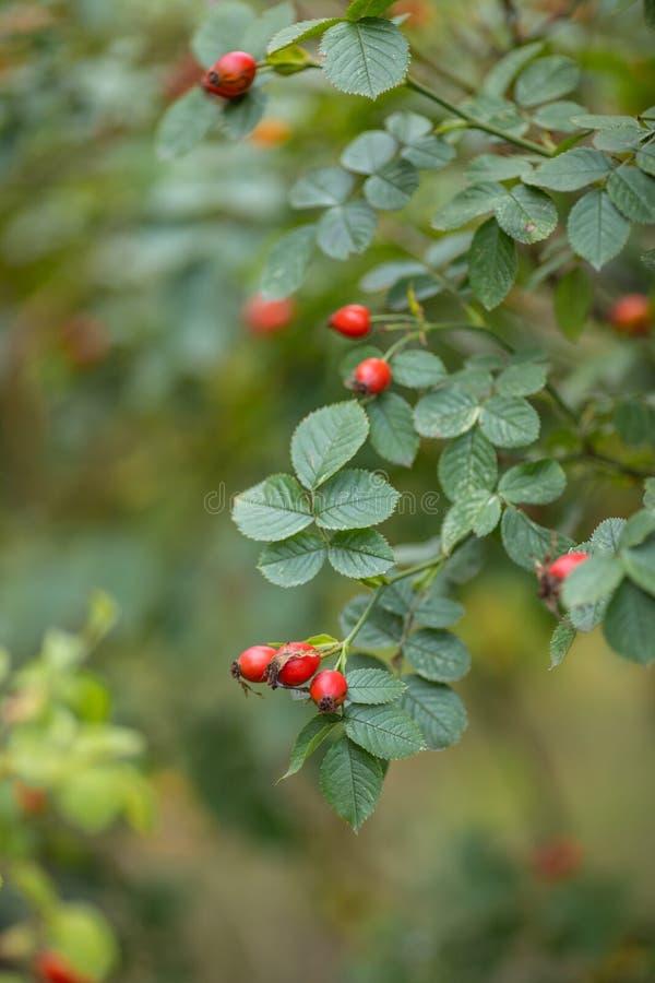 Piękna gałąź aromatycznej dzikiej rośliny pastewnej z jasnoczerwonym dojrzałym jagód drzewo ziołowe na zewnątrz na tle rozmazaneg obraz stock