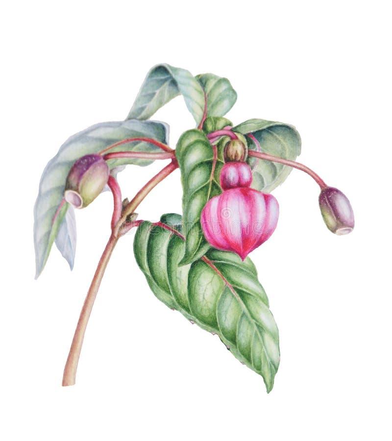 Piękna gałąź z pączków i jagod plusii royalty ilustracja