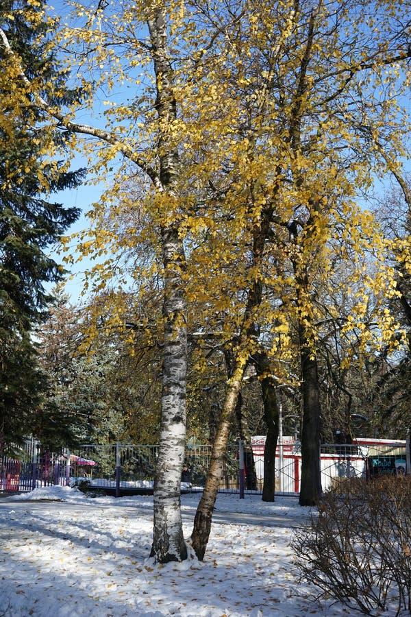 Piękna gałąź z pomarańcze i kolorem żółtym opuszcza w opóźnionym spadku lub wczesnej zimie pod śniegiem Pierwszy śnieg, śnieżny p obraz royalty free