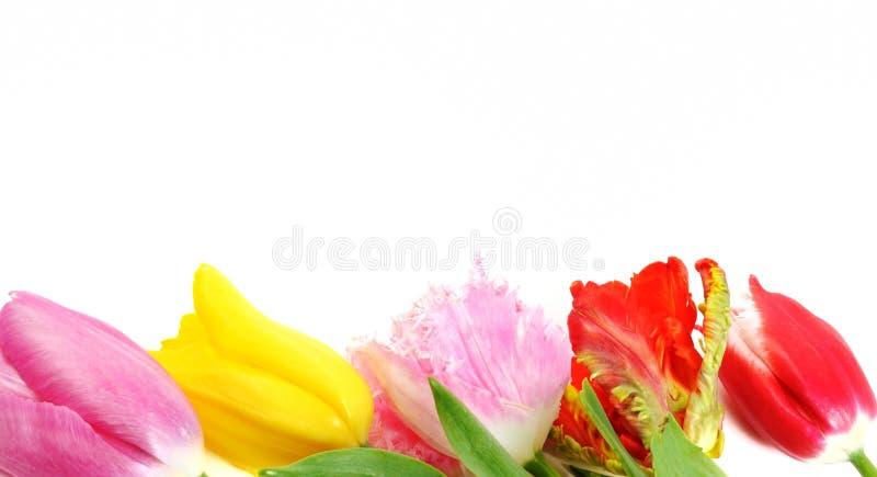 piękna granica kwitnie tulipanu obraz stock