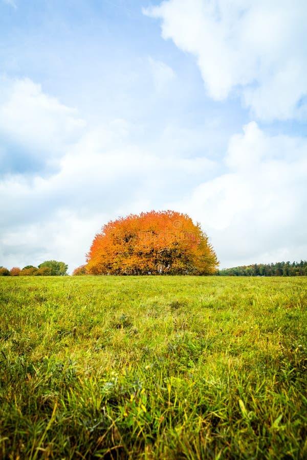 Piękna grupa drzewo na zielonym polu, niebieskie niebo zdjęcie stock