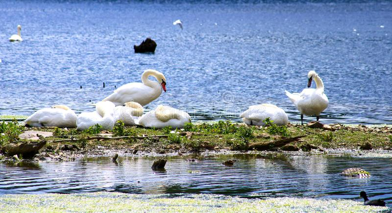 Piękna grupa niemi łabędź na błękitnym jeziorze z roślinnością Dzieci łabędź z dorosłym obraz stock