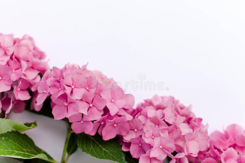 Piękna hortensja odizolowywająca na białym tle Menchia kwiatów hortensia kwitnie w lecie zdjęcia stock