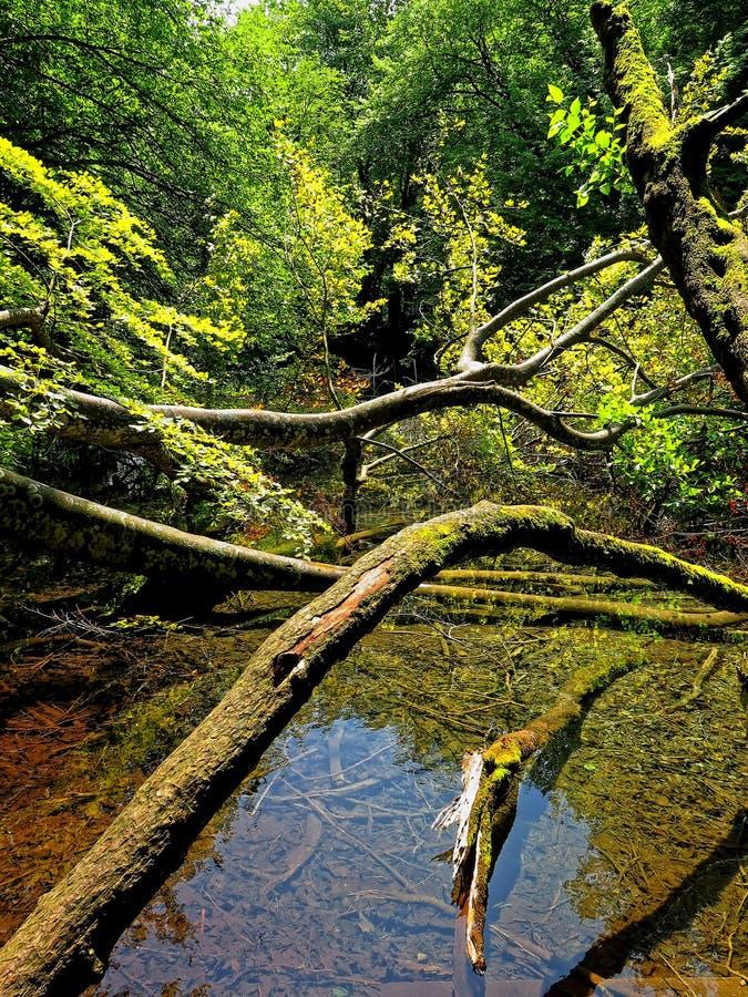 Piękna i kolorowa lasowa rzeka z drewnami w Corsica zdjęcie stock
