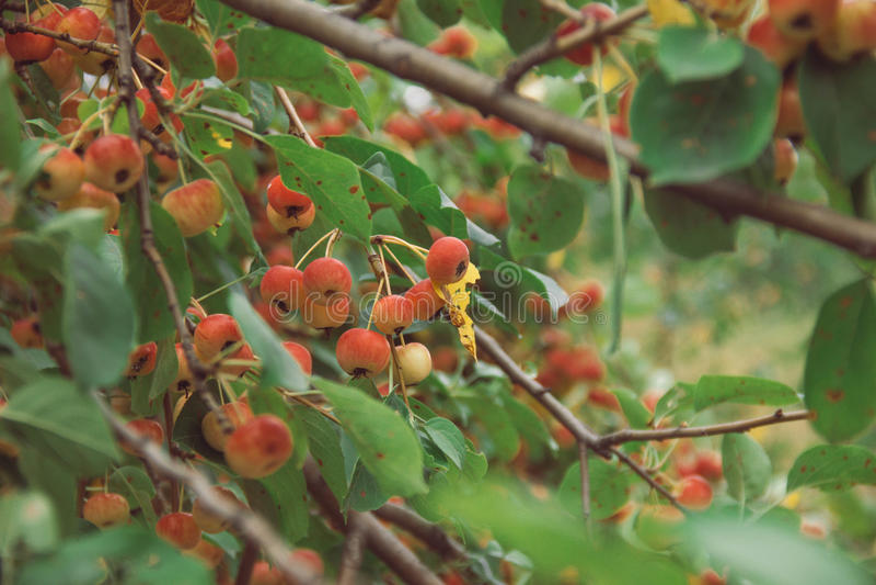 Piękna jabłoń rozgałęzia się z owoc w lecie obrazy royalty free