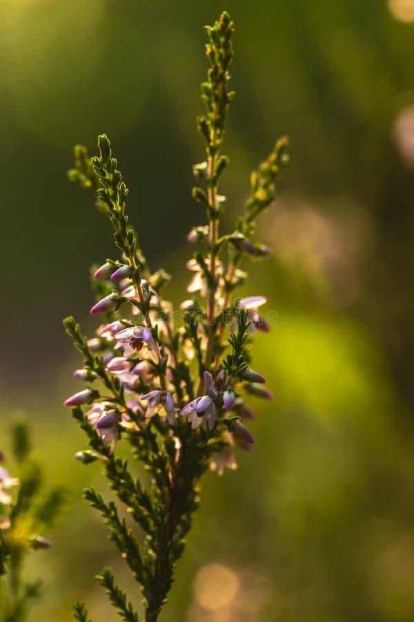 Piękna, jaskrawa menchii wiązka pospolity wrzosu Calluna vulgaris, w backlight wieczór światło słoneczne, przeciw a zdjęcia royalty free