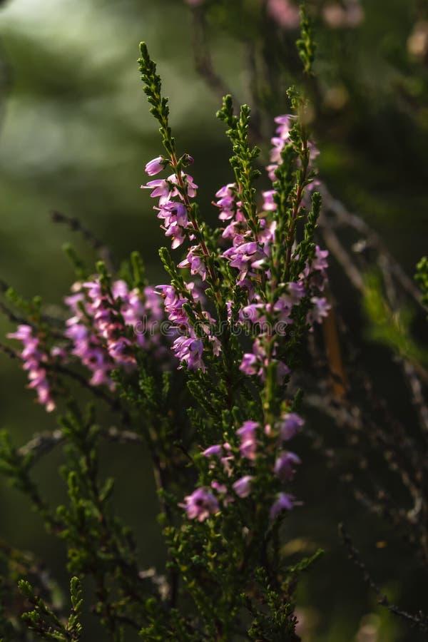 Piękna, jaskrawa menchii wiązka pospolity wrzosu Calluna vulgaris, w magicznym wieczór lesie, przeciw zamazanemu zdjęcia royalty free