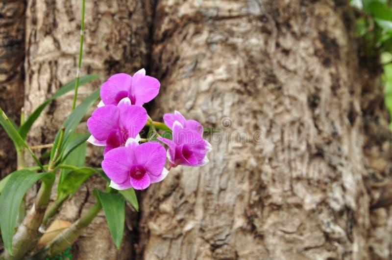 Piękna jaskrawa purpurowa orchidea obraz royalty free
