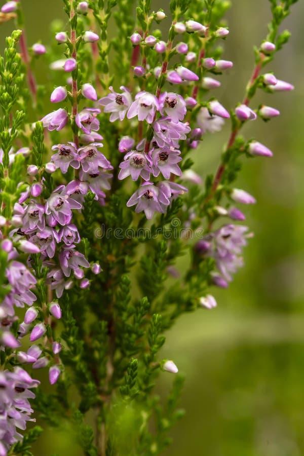 Piękna, jaskrawa różowolila wiązka pospolity wrzosu Calluna vulgaris, w lesie na zamazanym tle greenery, fotografia stock