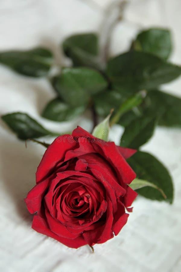 piękna jaskrawy odosobniona czerwień wzrastał zdjęcie stock