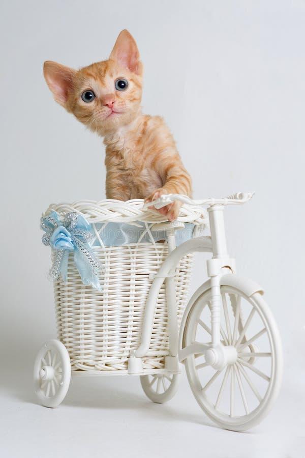 Piękna kędzierzawa figlarka Ural Rex siedzi w koszu zabawkarski rower i spojrzenia naprzód, odizolowywającym na białym tle zdjęcia royalty free