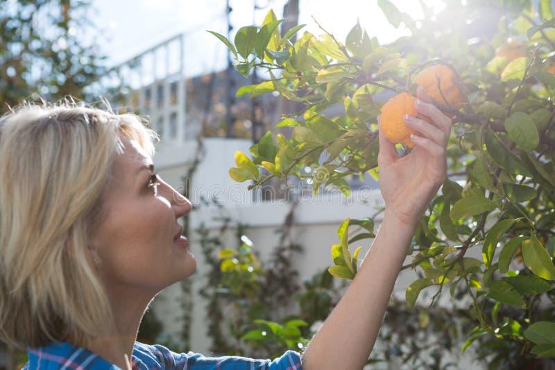 Piękna kobieta egzamininuje pomarańcze na drzewie zdjęcie royalty free