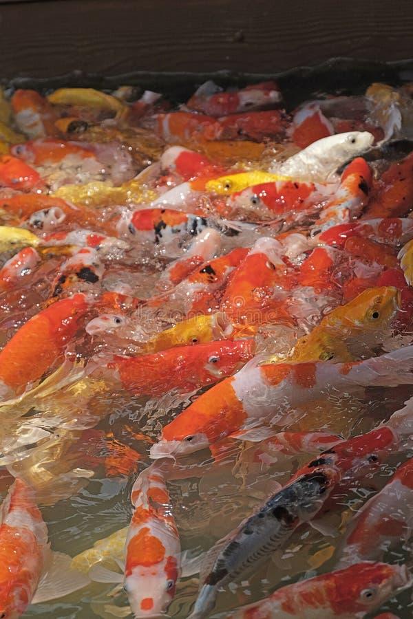 Piękna koi ryba w rybich stawach zdjęcie royalty free