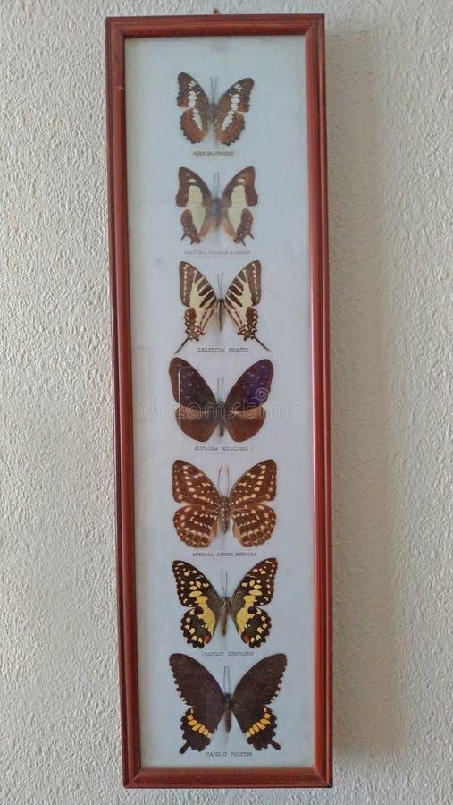 Piękna kolekcja wysuszeni motyle w ramie fotografia royalty free