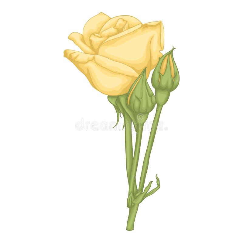 Piękna kolor żółty róża odizolowywająca na białym tle ilustracji