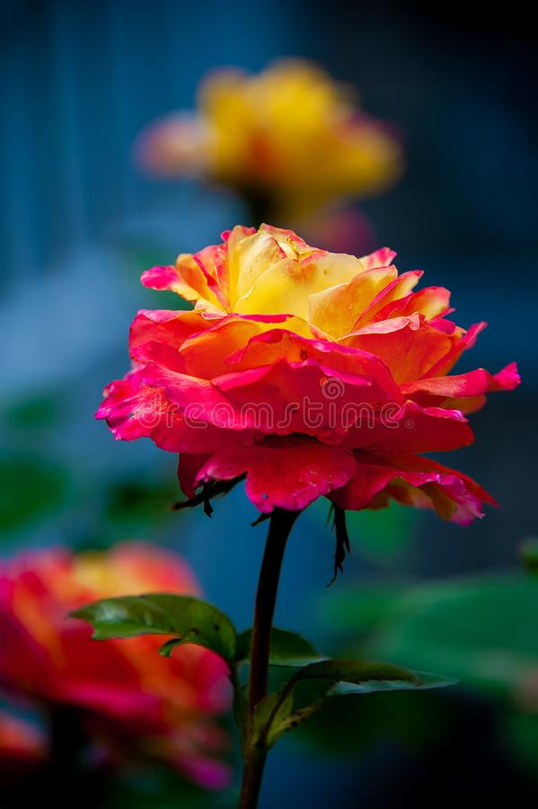Piękna kolor żółty róża z menchiami ostrzy płatki na zamazanym tle obrazy royalty free