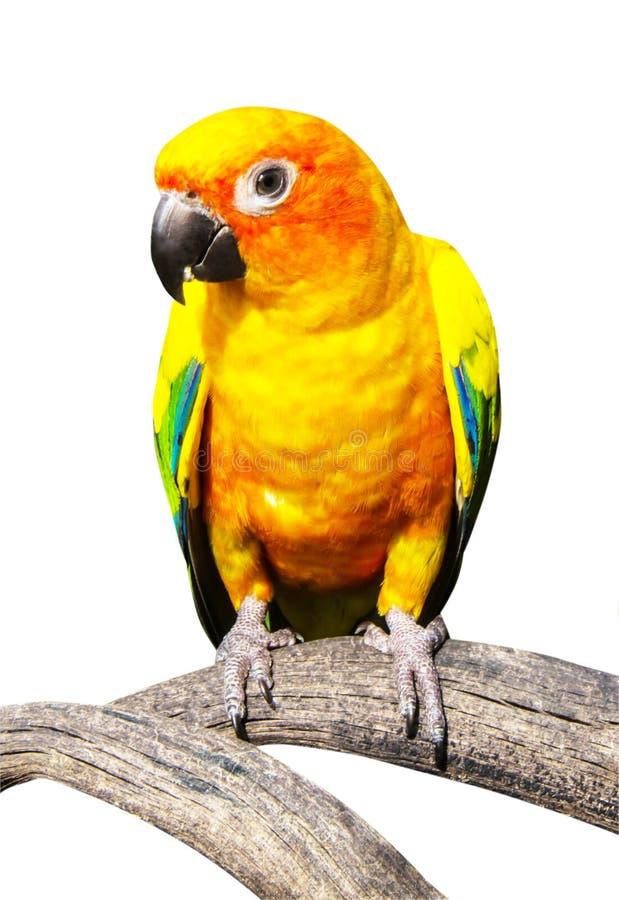 Piękna kolorowa papuga, słońce Conure, g (Aratinga solstitialis) zdjęcie stock