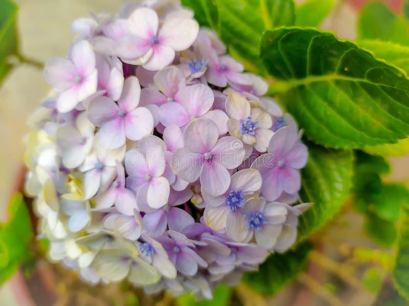 piękna kombinacja kolorów bougenville kwiatów, które są kwitnące fotografia stock