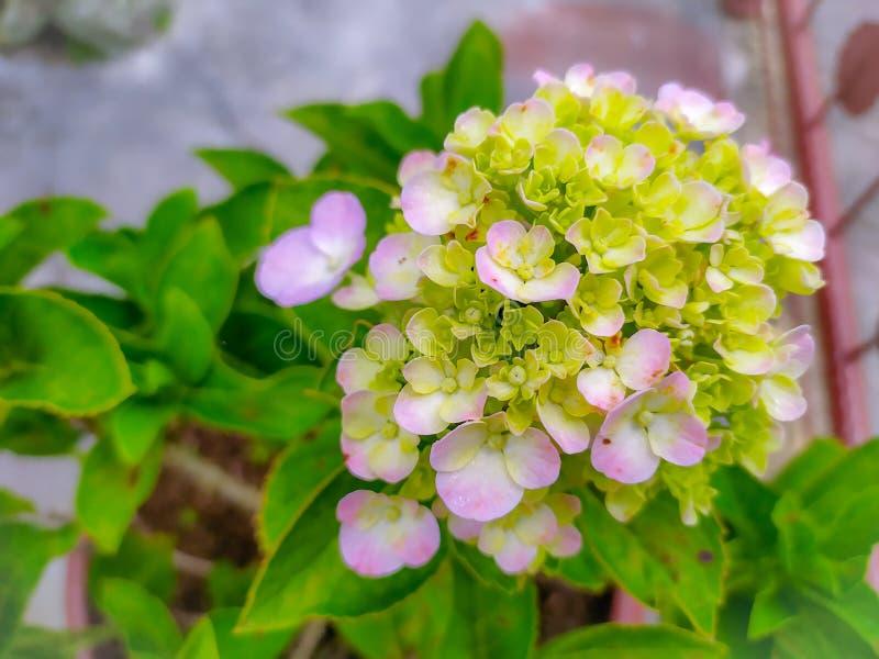 piękna kombinacja kolorów bougenville kwiatów, które są kwitnące obraz royalty free