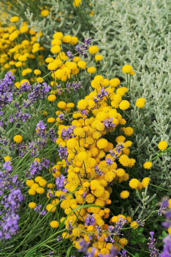 Piękna kombinacja kwitnący kolor żółty kwitnie z lilą kwitnącą lawendą obrazy stock