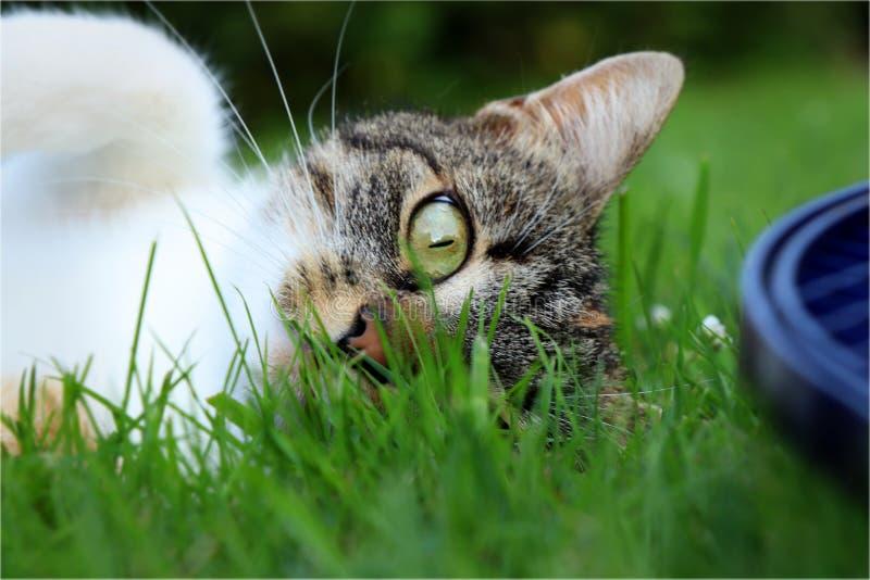Piękna kot głowa patrzeje z jeden okiem na kamerze Odpoczynek ciało chuje w trawie fotografia royalty free
