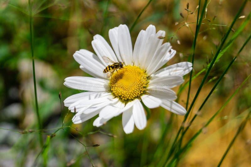 Piękna kwiat głowa rumianek z osą w środku zdjęcie royalty free
