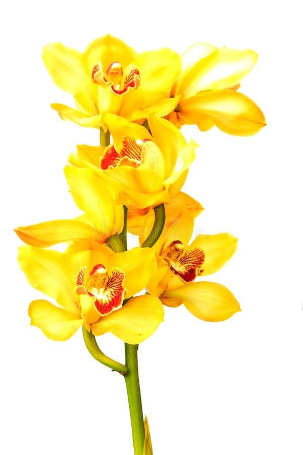 Piękna kwiat orchidea odizolowywająca na białym tle zdjęcie royalty free