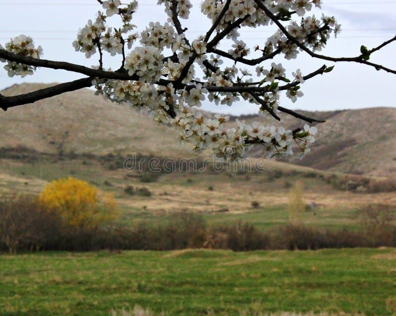 piękna kwiatonośnej wiśni gałąź, góry w tle i luksusowe białe chmury, zdjęcie royalty free