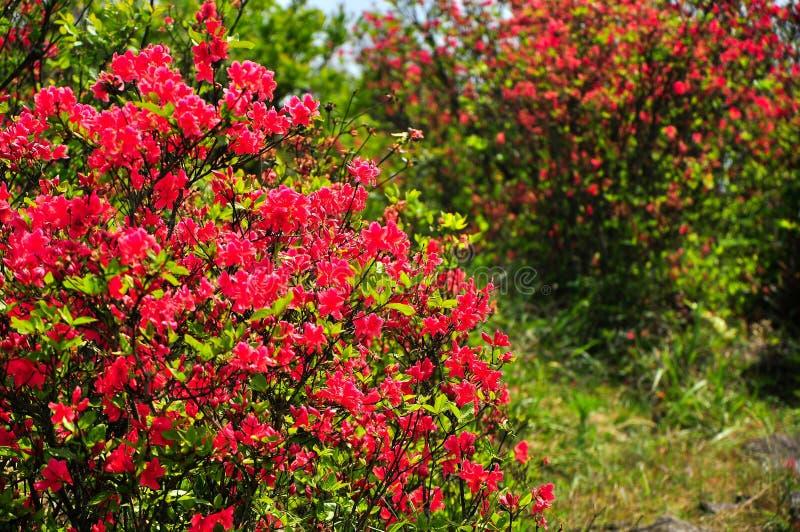 Piękna kwitnąca azalia kwitnie w wiośnie fotografia royalty free