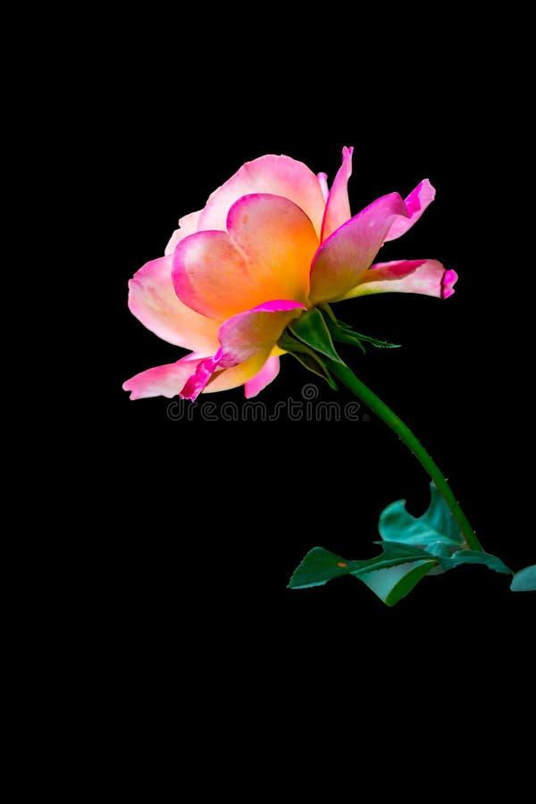 Piękna kwitnąca kierowa kształtna płatek menchii róża obraz stock