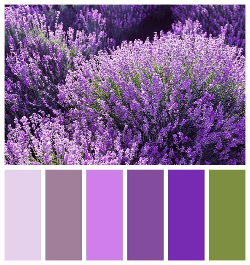 Piękna kwitnąca lawenda w polu Naturalna kolor paleta dla wnętrza lub mody projekta obraz royalty free