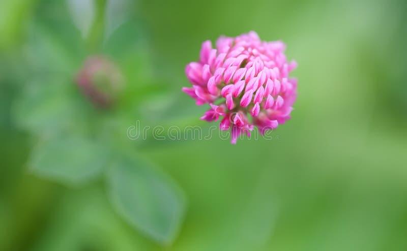 Piękna lato natury scena z fiołkowym koniczynowym kwiatem Makro- widoku płatek, selekcyjnej ostrości fotografia fotografia royalty free