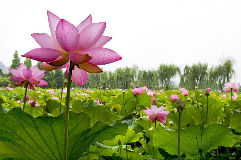 piękna lily wody fotografia stock