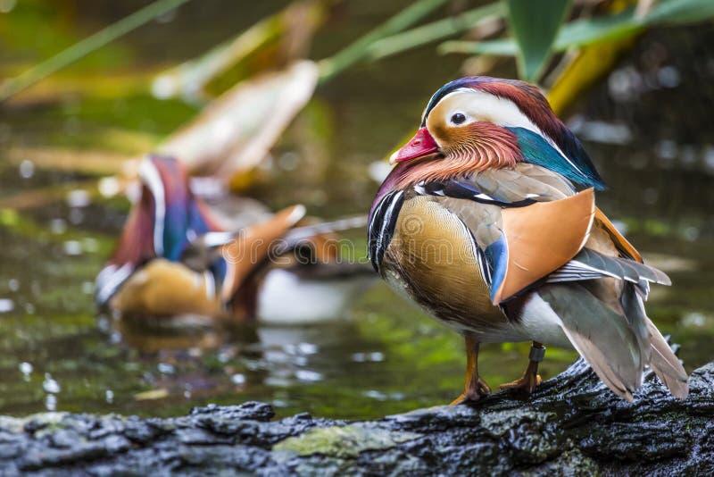 Piękna męska mandaryn kaczka (Aix galericulata) obraz stock
