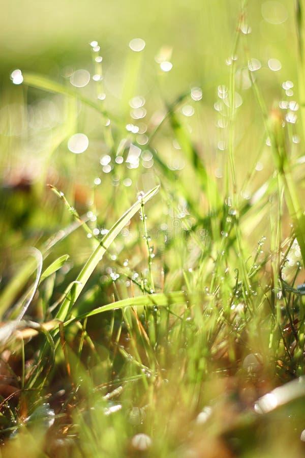 Piękna młoda świeża trawa w rosa kroplach zdjęcia royalty free